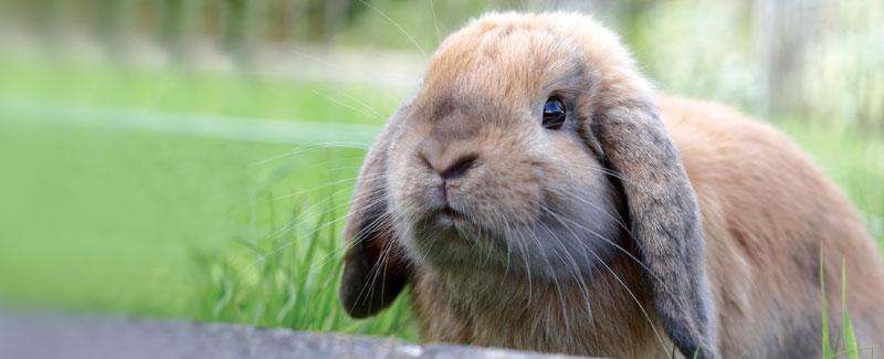 Uw konijn laten inenten