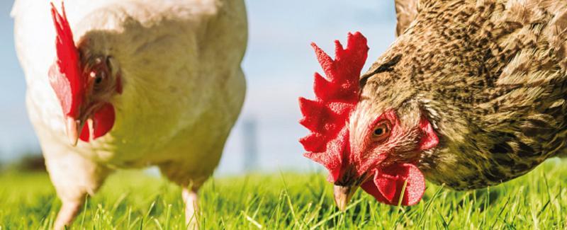 Kippen houden